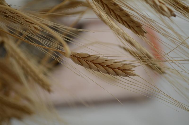 Дарители на древното жито лимец