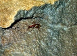 Бръмбарчето Светломразец е ендемит - среща се единствено в пещерата Леденика във Врачанския Балкан. То е набор на динозаврите и продължава да живее и до днес във вида си отпреди 150 млн. години