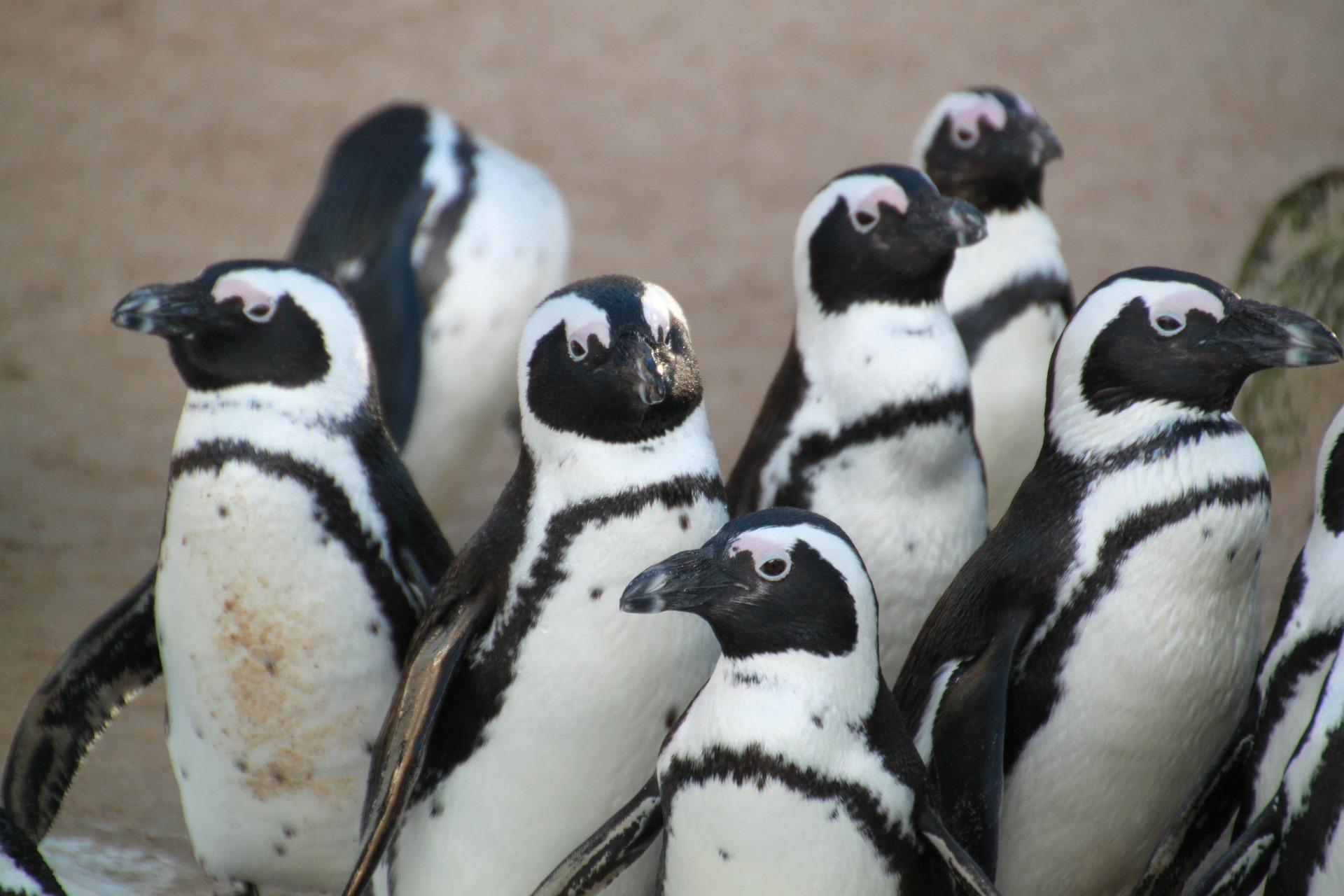 Популацията на пингвините Галапагос се е увеличила двойно благодарение на климатичните промени