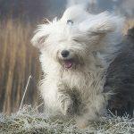 Куче от порода Бобтейл