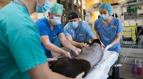 Уникална операция извършена от ветеринарни и хуманни лекари спасява живота на куче-водач