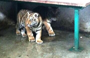 тигри в ловешкия зоопарк