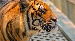 Два 4-месечни сибирски тигъра са новите попълнения в ловешкия зоопарк