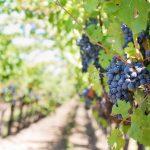 Виното от Тракийската низина на второ място в класация