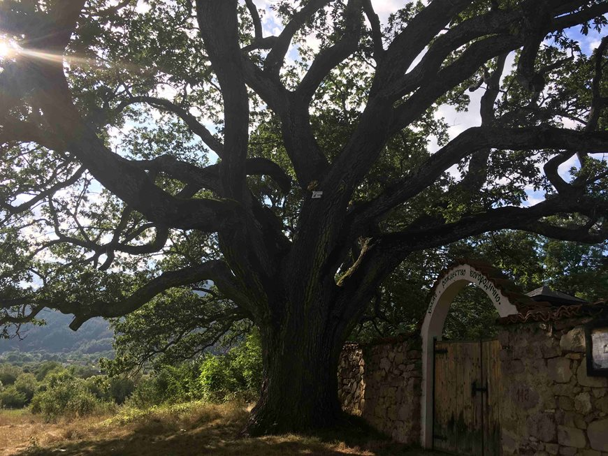 """Вековният дъб от Насалевци сред финалистите в """"Европейско дърво на годината"""""""