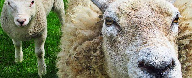 Националният събор на овцевъдите пази българските традиции